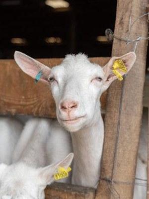 Chèvre Saanen à la Ferme de Charchenay