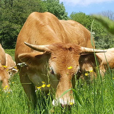 Viande bovine à la Ferme de Charchenay